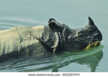 Satisfied rhinoceros Nepal: Indian rhinoceros on the Rapti River in the Chitwan National Park #682085944
