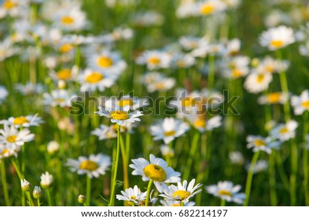Field of daisies in the morning dew #682214197