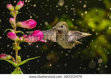 A photo of hummingbird visits flowers in raining day.