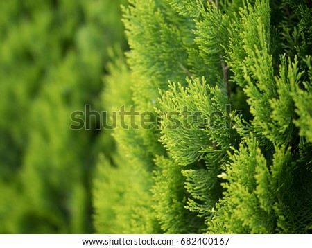 Conifer of fresh green Royalty-Free Stock Photo #682400167