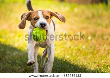 Beagle dog running and jumping in the garden playing with a ball #682464133