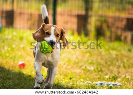 Beagle dog running and jumping in the garden playing with a ball #682464142
