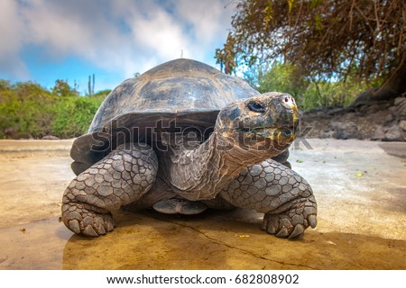 Galapagos Islands. Galapagos tortoise. Big turtle. Ecuador. #682808902