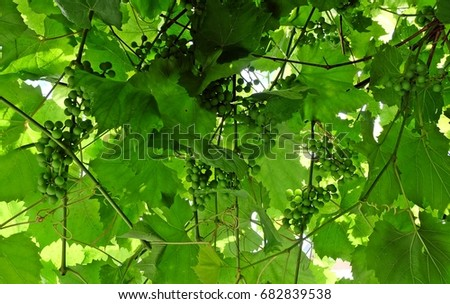 Green leaves and grapes. #682839538