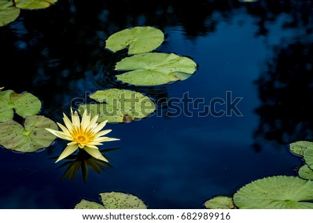 Yellow lotus flower and lotus green leaves in pond #682989916