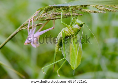 Female grasshopper sits on a branch of grass immediately after molting #683432161