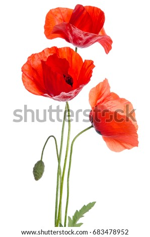 bouquet of red poppies isolated on white background. #683478952