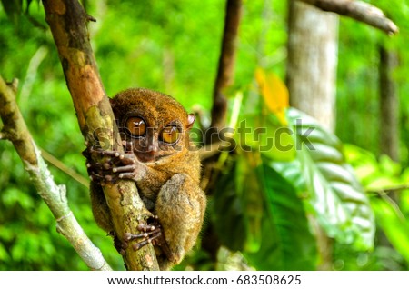 Tarsier is a nocturnal species and one of the smallest known primate that can be found in Bohol, Philippies. #683508625