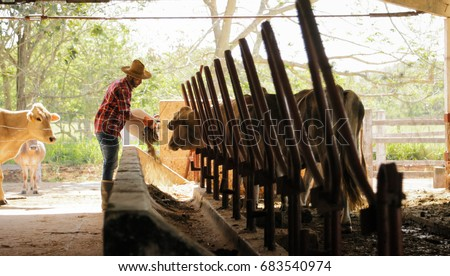 Everyday life for farmer with cows in the countryside. Peasant work in South America with livestock in family country ranch. Manual job with man feeding cattle in small farm. #683540974