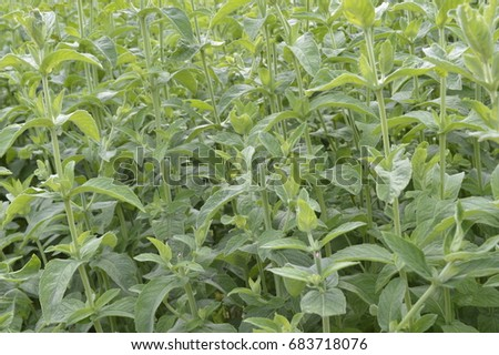 Mentha longifolia - aromatic plant with vivid green color #683718076