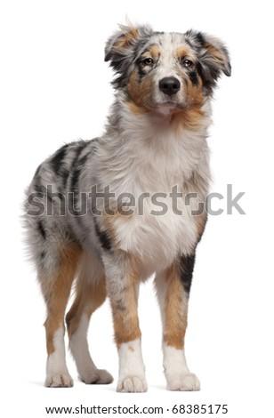 Australian Shepherd dog standing in front of white background #68385175