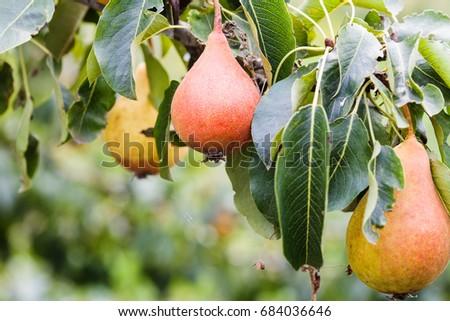 twig with ripe pear fruits on tree close up in summer season in Krasnodar region of Russia #684036646