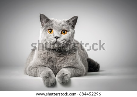 British Shorthair cat lying on white table. Copy-space #684452296