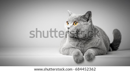 British Shorthair cat lying on white table. Looking at copy-space. Banner