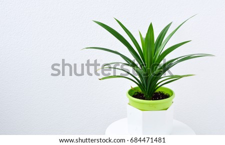 pandan leaves  or Pandanus amaryllifolius is a tropical plant in pot with white wall. Pandanus are used for food coloring Or flavors of food. #684471481