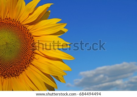 A flower of a sunflower blossoms on a field of sunflowers on a sunny day. #684494494