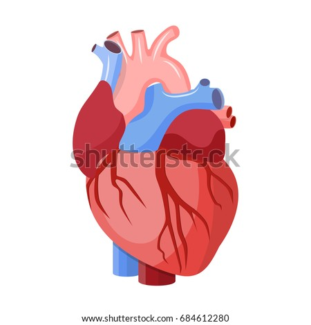 Anatomical heart isolated. Muscular organ in humans. Heart diagnostic center sign. illustration in flat style Raster version