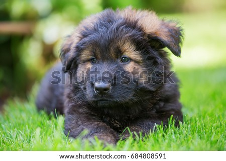 portrait of an old German shepherd puppy, who is lying on the lawn #684808591
