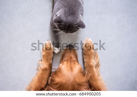 British shorthair cats and Golden Retriever #684900205