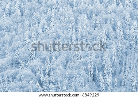 Winter Pine forest - pinewood in snow #6849229
