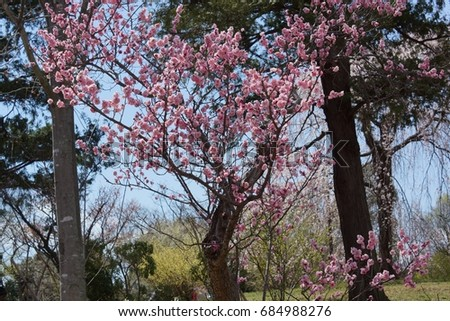 Cherry blossoms in Japan #684988276