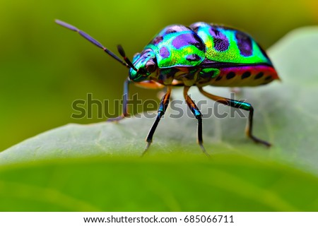 Jewel bug (Chrysocoris stollii) Beetle, Shield bug which belong to the Scutelleridae family and are actually true bug.They are often brilliantly colored, exhibiting a wide range of iridescent metallic Royalty-Free Stock Photo #685066711