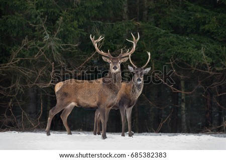 Father And Son:Two Generations Of Noble Deer Stag. Two Red Deer (Cervus Elaphus ) Stand Next The Winter Forest. Winter Wildlife Story With Deer And Spruce Forest. Two Stag Close-Up. Belarus Republic. #685382383