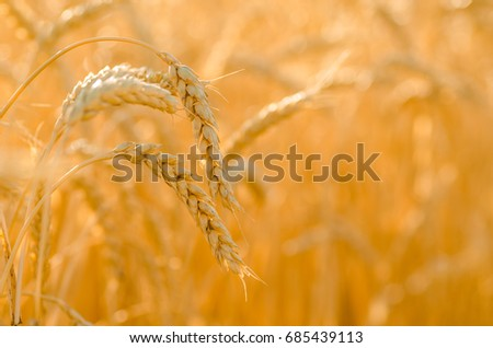 golden wheat #685439113