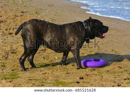 One large dark brown fighting dog plays with a toy in the form of a ring in the sand against the background of sea waves and splashes. #685521628