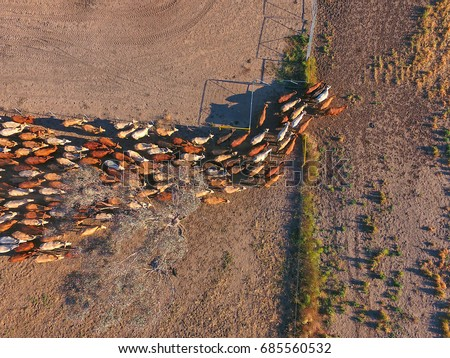Aerial view of Outback Cattle mustering featuring herd of livestock cows and bulls in drought and dusty area. Ready for auction and cattle yards. Complete with sheep dogs and cowboy farmers. #685560532