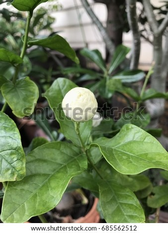 Jasmin flower, white flower #685562512
