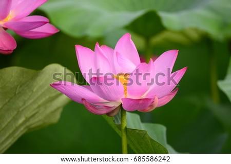 lotus #685586242