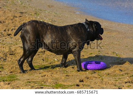 One large dark brown fighting dog plays with a toy in the form of a ring in the sand against the background of sea waves and splashes. #685715671