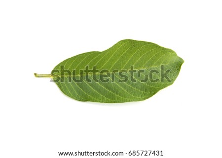 Guava leaves  is a plant Monocotyledon or Liliopsida isolated on white background. #685727431