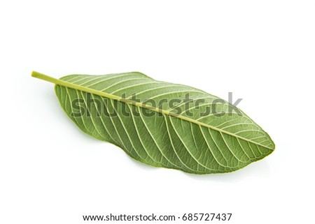 Back of Guava leaves  is a plant Monocotyledon or Liliopsida isolated on white background. #685727437
