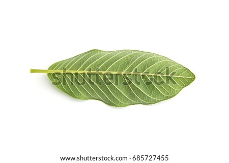 Back of Guava leaves  is a plant Monocotyledon or Liliopsida isolated on white background. #685727455