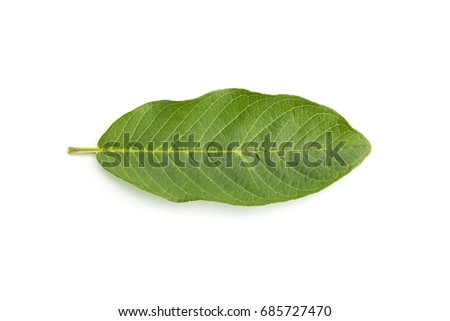 Guava leaves  is a plant Monocotyledon or Liliopsida isolated on white background. #685727470