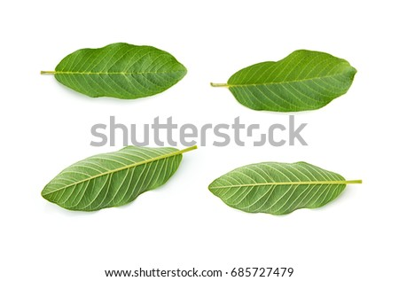 Set Front and Back of Guava leaves  is a plant Monocotyledon or Liliopsida isolated on white background. #685727479