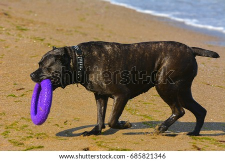 One large dark brown fighting dog plays with a toy in the form of a ring in the sand against the background of sea waves and splashes. #685821346