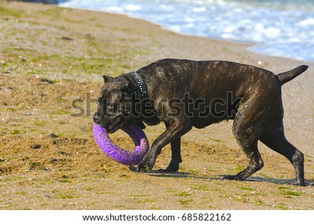 One large dark brown fighting dog plays with a toy in the form of a ring in the sand against the background of sea waves and splashes. #685822162