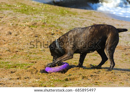 One large dark brown fighting dog plays with a toy in the form of a ring in the sand against the background of sea waves and splashes. #685895497