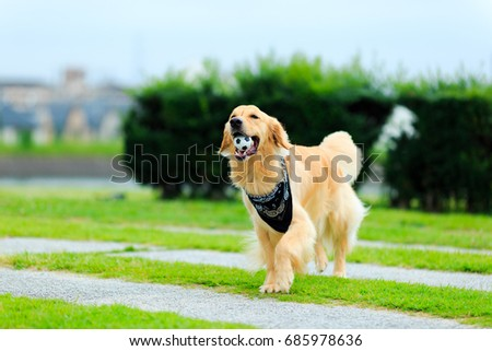 Golden retriever #685978636