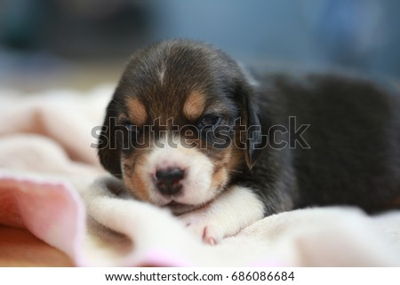 pure breed beagle Puppy is sleeping and looking in first time #686086684