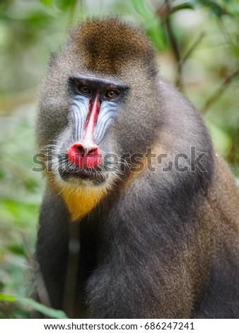 mandrill (Mandrillus sphinx)gabon #686247241
