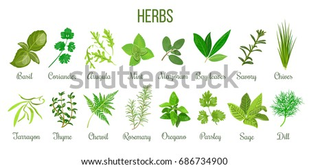 Big icon set of popular culinary herbs. realistic style. Basil, coriander, mint, rosemary, basil, sage, thyme, parsley etc. For cosmetics, store, health care, tag label, food design #686734900
