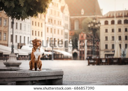 Nova Scotia Duck Tolling Retriever Dog in the city. Dog on the background of architecture #686857390
