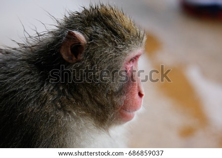 Japanese macaques #686859037