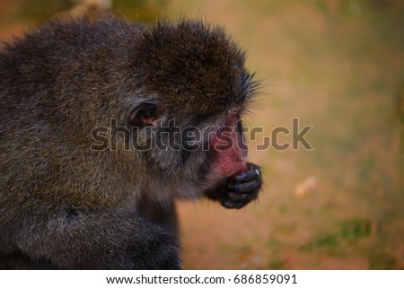 Japanese macaques #686859091