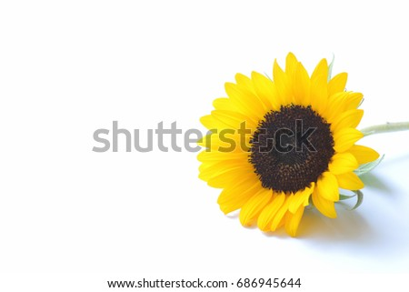 Japanese yellow sunflower isolated #686945644
