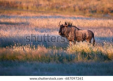 Blue wildebeest, Connochaetes taurinus, large antelope walking in dry grass at the evening in Kalahari savanna. Gnu in best light, illuminated by setting sun. Wildlife photography in Kgalagadi.
